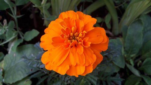 marigolds,oranžinės marigolds,gėlės,vasara,augalai,sodas,lauke,Švedijos vasara,Švedijos,lapai,vasaros gėlės,gėlė,žalias,Iš arti,Švedija,augalas,žydėjimas,gražus,graži gėlė,žaluma,vasaros gėlė