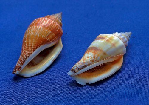 jūrų kalneliai,kriauklės,moliuskas,jūrų gyvūnija,gastropodai,jūrų kriauklės,kriauklė,jūrų sraigė,jūrų