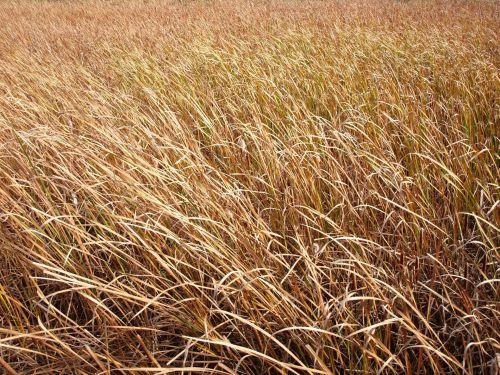 žolė, žolės, pelkės, aukšta & nbsp, žolė, tekstūra, upė, vanduo, pelkė žolė