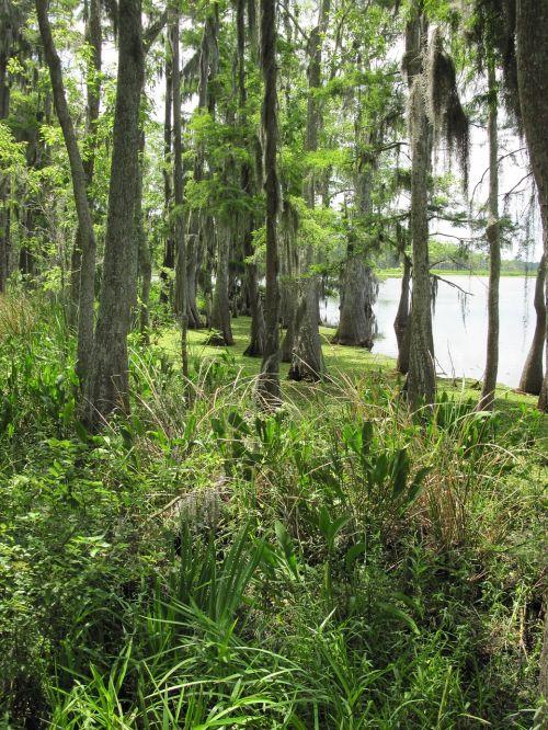 pelkės,pelkė,pelkės,Luiziana,šlapynes,medžiai,samanos,gamta,žalias,augalai,miškas