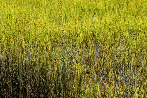 pelkės, pelkė, florida, pelkė & nbsp, žolė, vanduo, gamta, kraštovaizdis, pelkės, žalias, žolė, natūralus, pakrantės, šlapias, aplinka, žemė, ekosistemos, kranto, lauke, potvynis, pelkių žolė