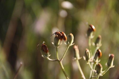 poravimas,vabzdžiai,poravimosi vabzdžių,sparnuoti vabzdžiai,pora,kopuliavimas