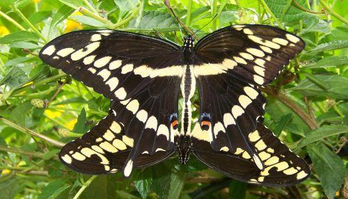 drugelis, vasara, vabzdys, sparnai, drugeliai, poravimas, poravimosi drugeliai