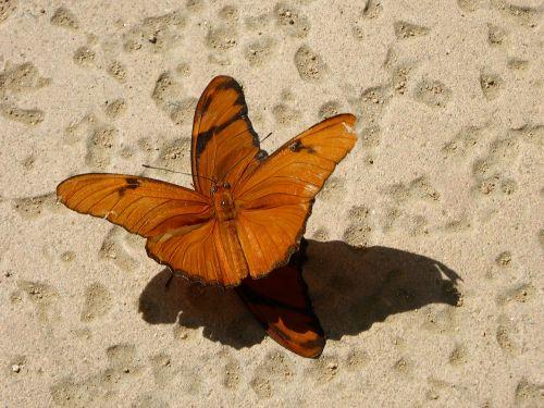 drugeliai, poravimas, pavasaris, klaidas, vabzdžiai, reprodukcija, atgaminimas, poravimosi drugeliai
