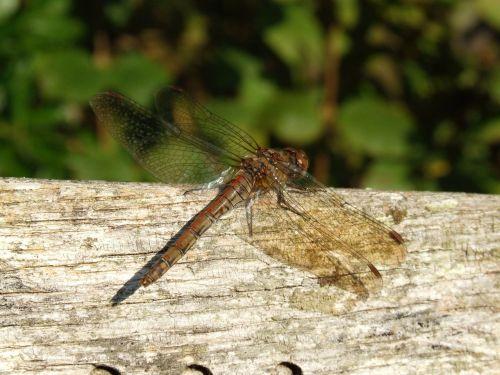 gali skristi,drakonas skristi,Dragon-fly,lazda,skristi,vabzdys,makro,gali skristi,laukinė gamta,gyvūnas,ruda,klaida,damselfly,aplinka,padaras