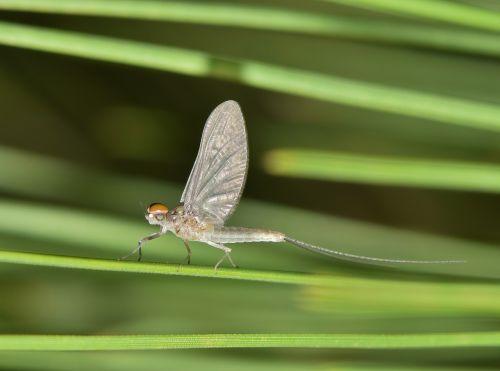 mayfly,fishfly,shadefly,vabzdys,vabzdžiai,stinkfly,sparnuotas,klaida,skraidantis vabzdys,sparnuotas vabzdys,žalia klaida,Iš arti,makro,padaras,gyvūnas,laukinė gamta,pušies adatos,entomologija,nariuotakojų,biologija,fauna,gamta,trumpas,trumpalaikis,efemeroptera,palaeoptera