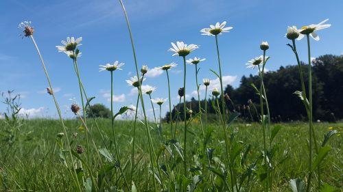 Pieva, Vasaros Pieva, Gamta, Gėlių Pieva, Vasara, Laukinės Gėlės, Kraštovaizdis, Žolės, Žalias, Mėlynas, Poilsis, Oazė, Atsipalaidavimas, Žolė, Žole Pieva