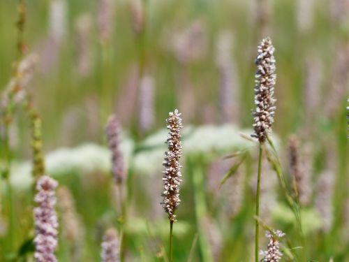 pieva,gyvatės knotweed,bistorta officinalis,persicaria bistorta,pranešė knotweed,polygalas,polygonaceae,gyvatės šaknys,žolė,šlapias pievas