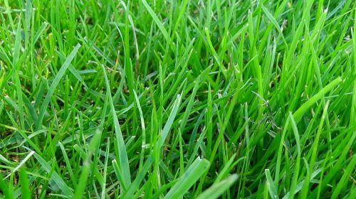 pieva,žolė,žalias,vasara,skubėti,gamta,pavasaris,žolės,pievos žolė,žolės žolės,poilsis,Halme,fonas,žolės mentė,tekstūra,Uždaryti,makro,augalas,sodas,žolelės,natūralus
