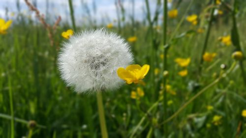 pieva,augalas,augalai,gėlė,žolė,žalias,žolės žolės,kiaulpienė,gėlių vasara,vasara