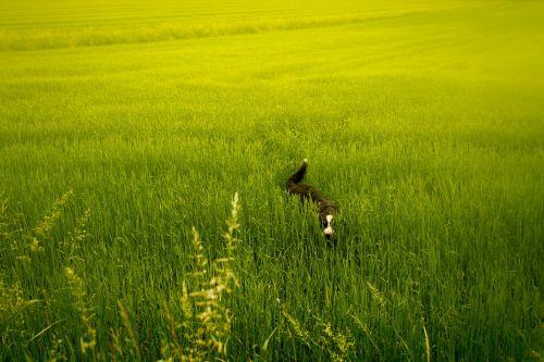 pieva,žalias,šuo,gyvūnai,gamta,kraštovaizdis,laukas,žolė,augmenija,pievos žolė,vasara,žolės mentė,žalia žolė,augalai,žalia pieva,vaizdas