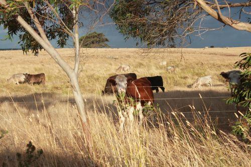 pieva,karvės,aptvertas,ūkis,žinduolis,vidaus,lauke,ūkio gyvūnai,kaimas,gyvuliai,ranča,Naminiai gyvūnai,žemės ūkio paskirties žemė