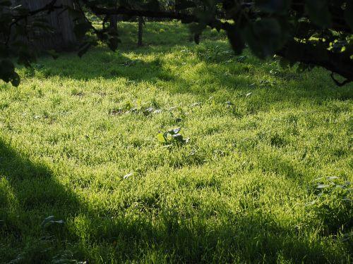 pieva,žolė,skubėti,Morgentau