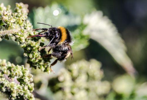 pieva hummel,bombus pratorum,Hummel,skristi,gailioji dilgėlė,gyvūnas,gamta,rinkti nektarą,nektaro paieška,maitinimas
