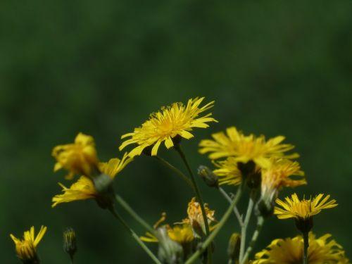 pievos dubius,tragopogon pratensis,žiedas,žydėti,gėlė,geltona,kompozitai,asteraceae,buvo salsify,augalas,flora