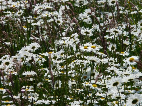 pievių maržeritas,leucanthemum vulgare,gėlė,žydėti,balta,pievos margeritas,mokama feverfew,rozės,kompozitai,asteraceae,marguerite,leucanthemum,pavasaris,vasara,žiedas,žydėti,pieva,laukinės gėlės,laukinė gėlių pieva,blütenmeer,sodo augalas,konteinerių gamykla,laukinė gėlė,schnittblume
