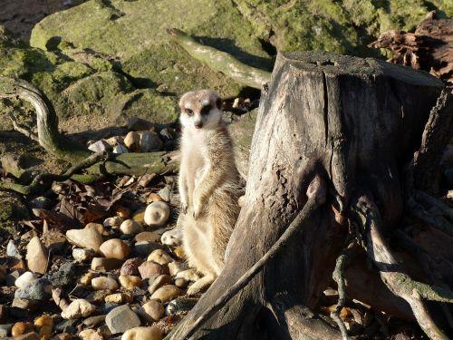 meerkat,zoologijos sodas,gyvūnai,gamta,sėdėti