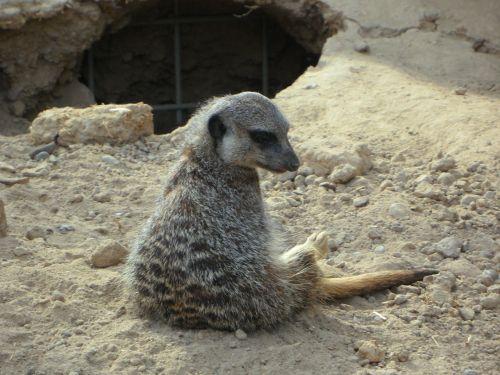 meerkat,vienišas,sėdėti,zoologijos sodas