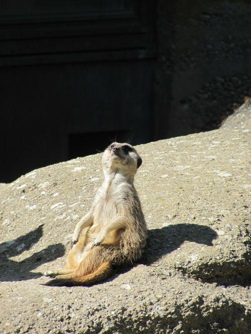 meerkat,gyvūnas,sėdėti