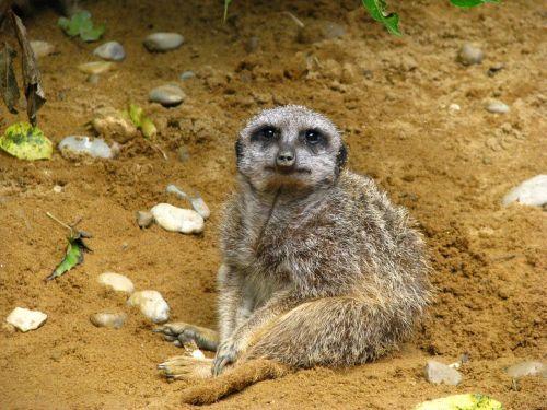 meerkat,gyvūnų pasaulis,sėdėti,įdomu