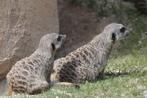 Meerkats, Gyvūnai, Fauna
