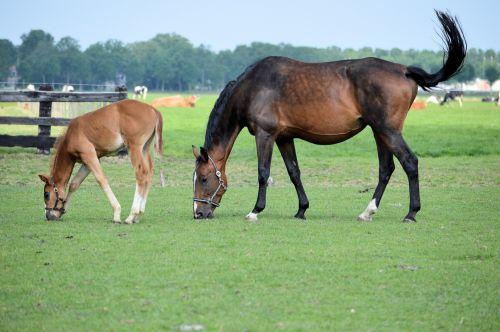 arklys, ganykla, ganymas, ūkis, gyvūnas, asilas, linksmas, linksmas ir kumeliukas