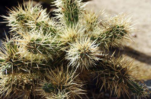 Meksika,kaktusas,Mamilaria,botanika,prieskoniai