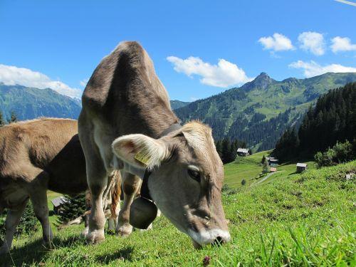 pieno karvė,karvė,austria,kalnai,ganyti,pieninės karvės,alm,kalnų pievos,kraštovaizdis,dangus,mėlynas,ganykla,karvė karvė,galvijai