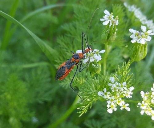 milkweed žudikas,Assassin bug,vabzdys,Iš arti,nariuotakojų,entomologija,plėšrūnas,zelus longipes