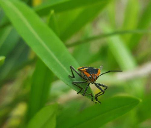 milkweed klaida,klaida,vabzdys,lapai,Iš arti,Bokeh,nariuotakojų,entomologija,zelus longipes