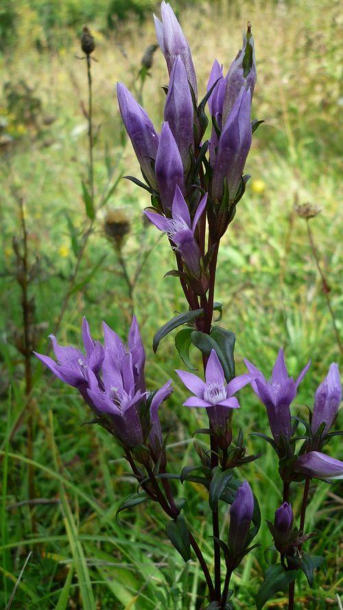 milkweed gencianas,gėlė,laukinis augalas,mėlyna-violetinė,gėlės,kalnų pieva,vasaros pabaigoje,Uždaryti
