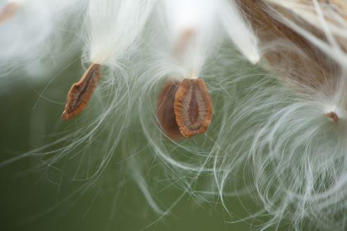 pieneliukas,milkweed sėklos,makro,balta,wildflower,naujoji Anglija