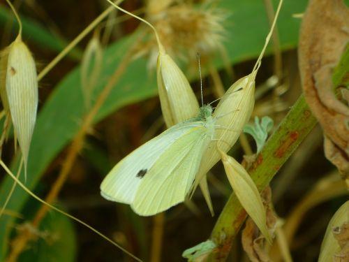 mimicry,drugelis,pieris,brassicae,kopūstų drugelis,paplitęs drugelis,lepidopteran,žolės,krūmai,vabzdys,sparnai,šešėlis,pieridae,balta,pasėliai