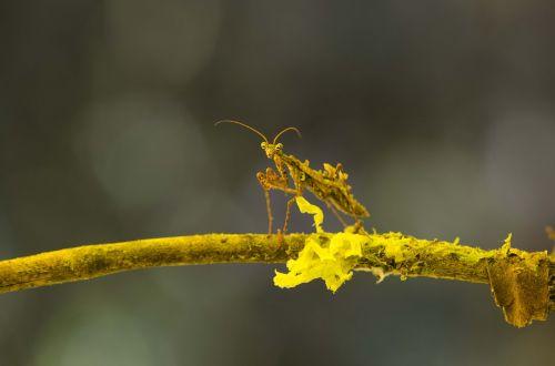 mimicry,mantis,montane miškas,Perujos biologinė įvairovė,Peru amazonės biologinė įvairovė