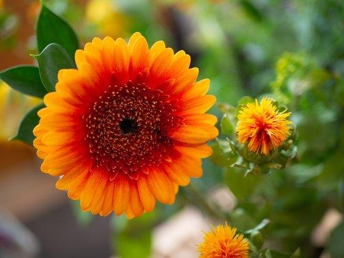 Mini Gerbera, gėlė, oranžinė, Iš arti, puokštė, Gerbera