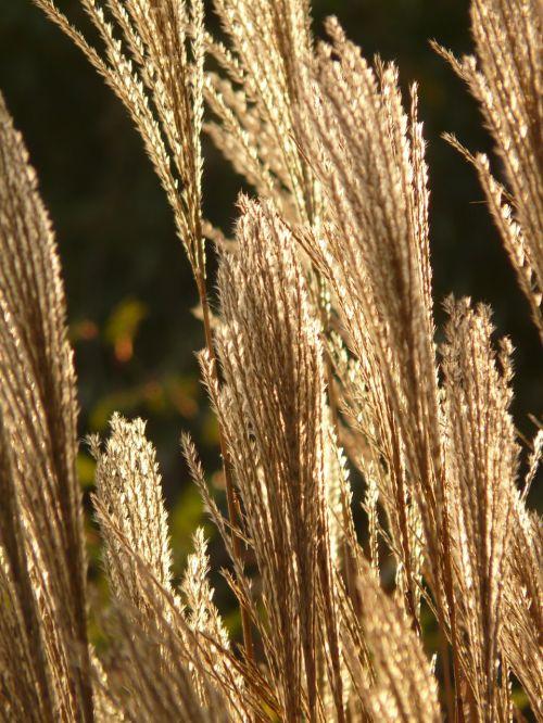 Miscanthus,miscanthus sinensis,atgal šviesa,saldymedis,Poaceae,sidabrinis pavasaris,bambuko grassedit šį puslapį,mažos elefantengras,mirgėjimas,sidabras,auksinis,nuotaika,žolė,flora,nendrė,dekoratyvinis augalas