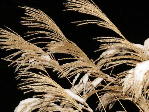 Miscanthus,miscanthus sinensis,sniegas,žiema,snieguotas,saldymedis,Poaceae,sidabrinis pavasaris,bambuko grassedit šį puslapį,mažos elefantengras,mirgėjimas,sidabras,auksinis,žolė,flora,nendrė,dekoratyvinis augalas
