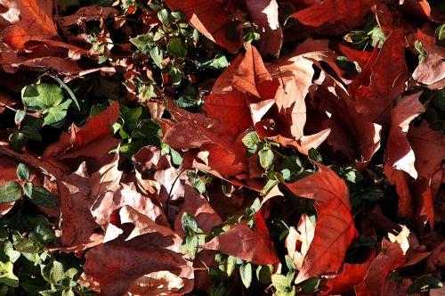 lapai, žalias, raudona, kritimas, ruduo, kritęs, sumaišyti kritusių lapų