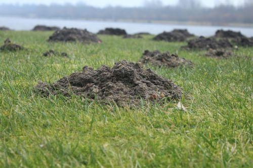 Molehill,mogiliai,Scherhaufa,žemių kasinėjimai,dirvožemio vėdinimas