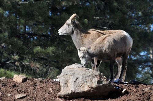 kalnas & nbsp, ožka, ožka, ožkos, vaikas, vaikai, žinduolis, laukiniai, gyvūnas, mama ir kūdikio ožka