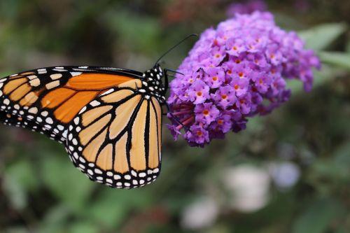 monarchas,drugelis,apdulkintojas,monarcho drugelis,gamta,sodas,gėlė