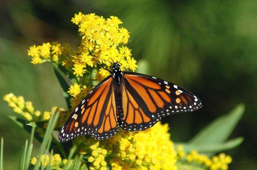 monarchas,drugelis,migracija,monarcho drugelis,vabzdys,gamta,spalvinga,spalva,gėlė
