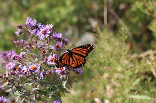 monarchas,drugelis,gėlė,vabzdys,monarcho drugelis,naujas aslandas Anglijoje,sodas