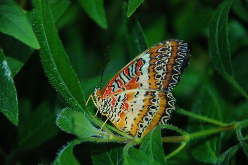 monarchas,drugelis,vabzdžiai,gyvūnas,vabzdys,drugeliai,makro