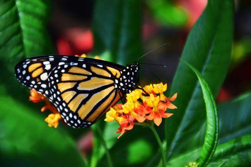 monarchas,danaus plexipplus,drugelis,vabzdys,sparnas,atogrąžų,egzotiškas,Uždaryti,spalvinga,gražus,šviesus,žiedas,žydėti,nektaras,maistas,gerti