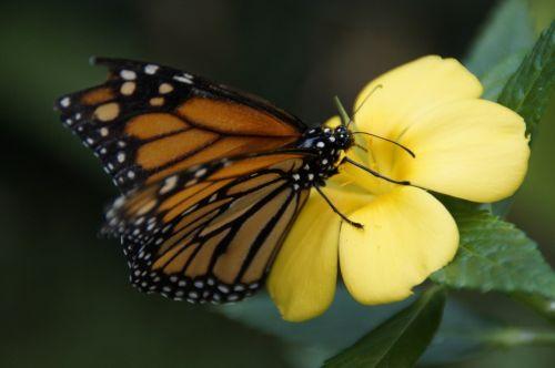 monarchas,drugelis,oranžinė,monarcho drugelis,sparnas,atogrąžų,edelfalter,danaus plexippus,egzotiškas,vabzdys,vaikščioti drugelis,drugeliai,gėlė,nektaras