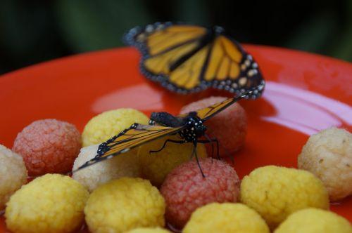 monarchas,drugelis,oranžinė,monarcho drugelis,sparnas,atogrąžų,edelfalter,danaus plexippus,egzotiškas,vabzdys,vaikščioti drugelis,drugeliai,drugelis namas,maitinimas,atogrąžų namas,tropiniai drugeliai
