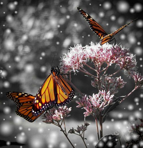 monarchas,drugelis,gėlė,augalas,vabzdys,gamta