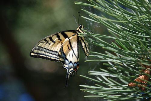 monarchas,drugelis,pušies adatos,vabzdys,gamta arti