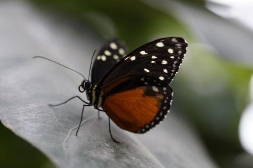 monarchas,monarcho drugelis,drugelis,atogrąžų,egzotiškas,atogrąžų namas,drugelis namas,lapai,sparnas,skleisti,oranžinė